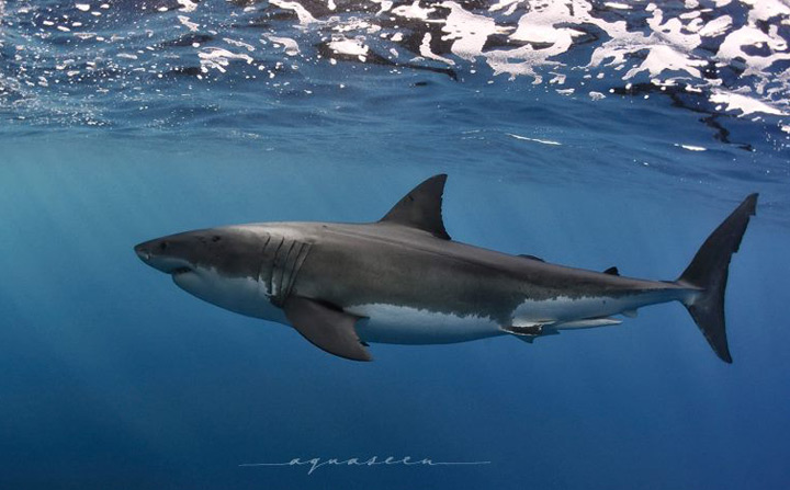 Why a shark cull is not a solution to beach safety