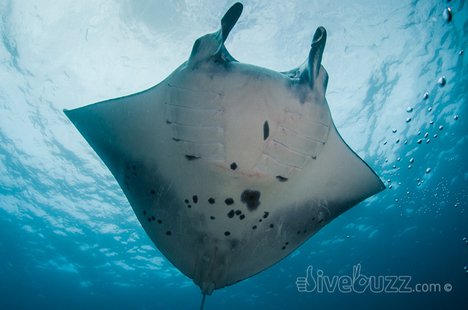 Manta Ray above