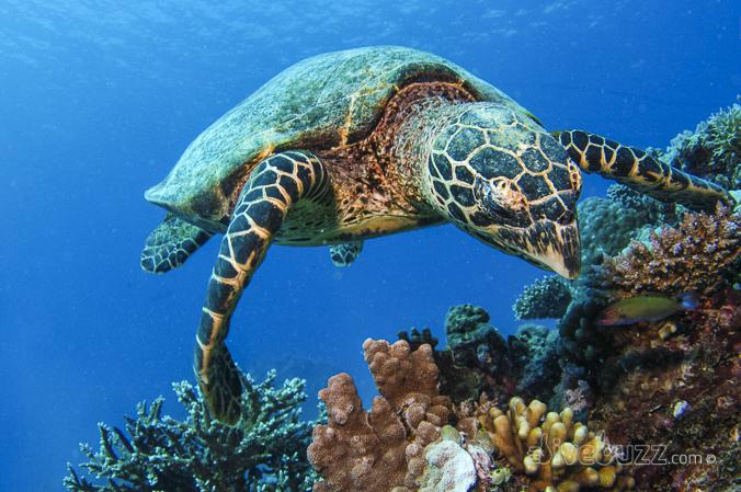 divebuzz-turtle-0060