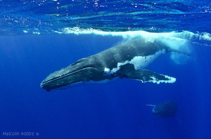 Humpback-Whale2-Vava'u-Tonga-Aug-12-676