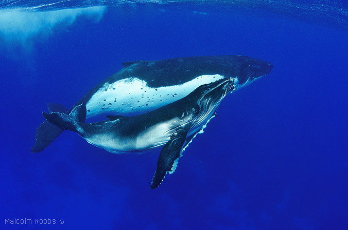 Humpback-calf-and-mother08-Rurutu-Sep-12-676
