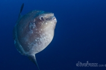 Mola Mola Madness – The sunfish of Nusa Penida